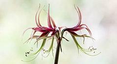 Paul Debois flower image