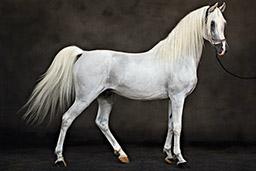 Tariq Dajani white horse image